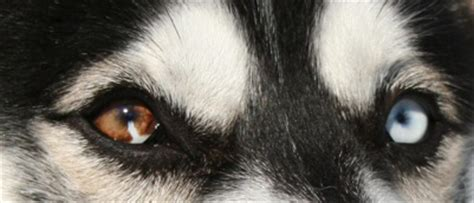 husky con occhi diversi alla ricerca siberian husky colore degli occhi dell husky