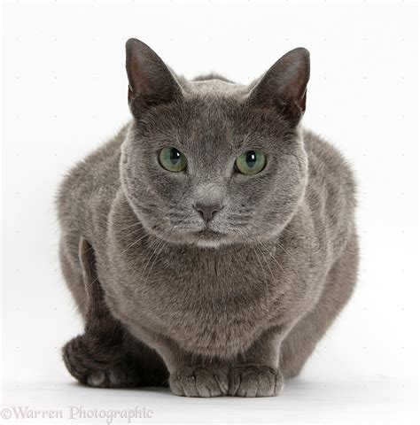 Russian Blue female cat with green eyes photo WP35970