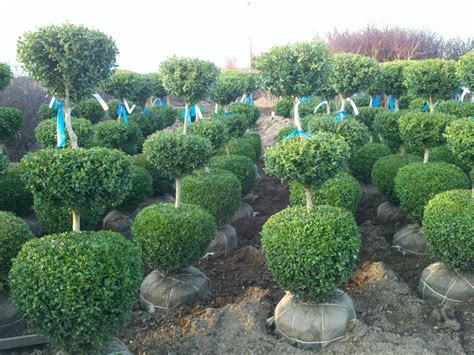 cheap topiary plants topiary plants wholesale images
