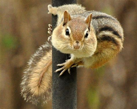 How To Get Rid Of Foxes In Backyard by 9 Easy Ways To Get Rid Of Chipmunks Without Killing Them
