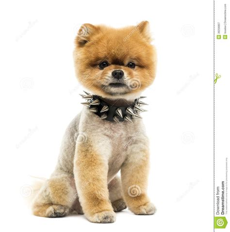 pomeranian collars groomed pomeranian sitting wearing a spiked collar stock photo image 39256807