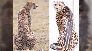 Jaguar Leopard Cheetah Jaguar Leopard And Cheetah Differences