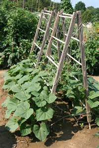 how to grow cucumbers on a trellis growing cucumbers keith