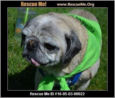 utah pug rescue utah pug rescue adoptions rescueme org