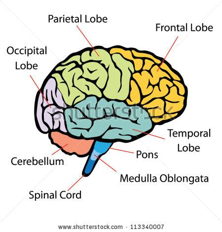 the brain sections brain sections vector stock vector