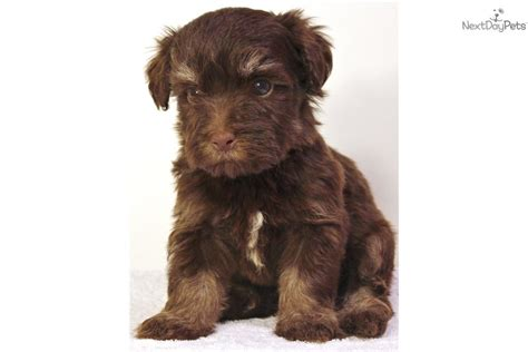 chocolate havanese puppies for sale in ohio havanese puppy for sale near san francisco bay area california 359acfb4 1d91