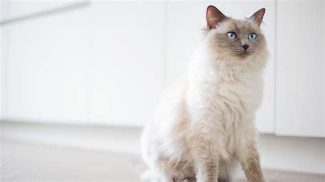 best of cat top 10 cat breeds