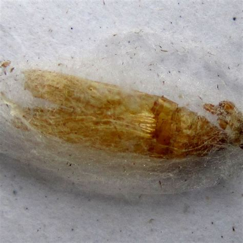 Pantry Moth Cocoon by Indian Meal Moth