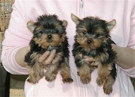 yorkie pups for free teacup dogs for free in category dogs puppies terrier yorkie