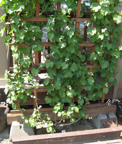 Arbor Trellis Plans Grape Arbor Plans Grapevines Grapevine Arbor