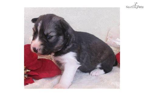 agouti husky puppies for sale meet a siberian husky puppy for sale for 850 akc agouti white husky