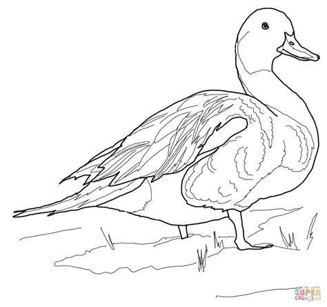 northern pintail duck coloring page free printable