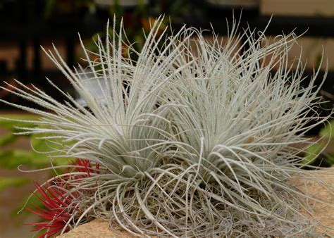 how to grow and care for air plants hgtv