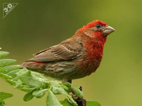 House Finch 3d 174 Pet Products3d 174 Pet Products