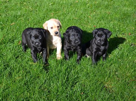 gun dogs for sale labrador puppies working lines gun leicester leicestershire pets4homes