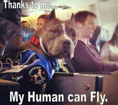 how to a pitbull to be a service pit bull service