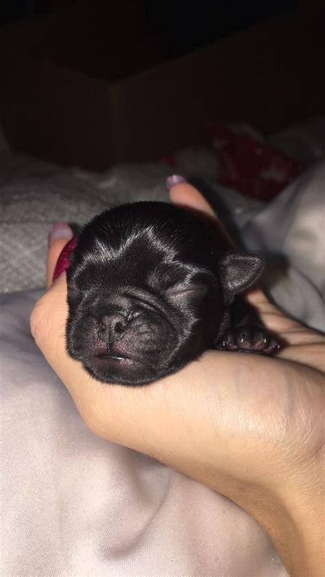 pug puppies for sale cornwall pug puppies forsale launceston cornwall pets4homes
