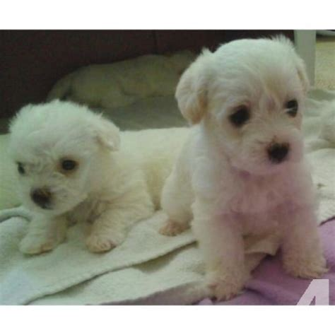 maltipoo puppies for sale in california maltipoo puppies for sale in bonita california classified americanlisted