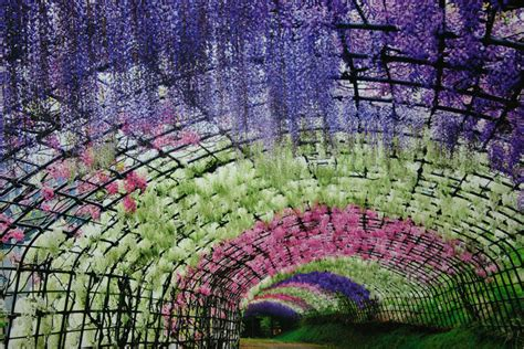 wisteria flower tunnel in japan surreal wisteria flower tunnel in japan bored panda