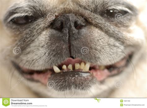 pug with no happy pug stock photos image 1931793