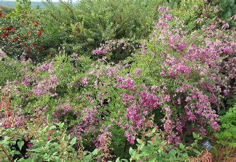 shrub pink flowers fafardflowering shrubs for fall