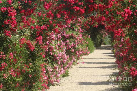 trellis roses trellis photograph by cj mckendry