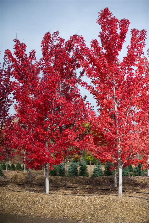 maple tree name in maple october for sale in boulder colorado
