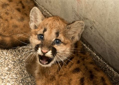 oregon zoo finds homes  orphaned cougar cubs zooborns