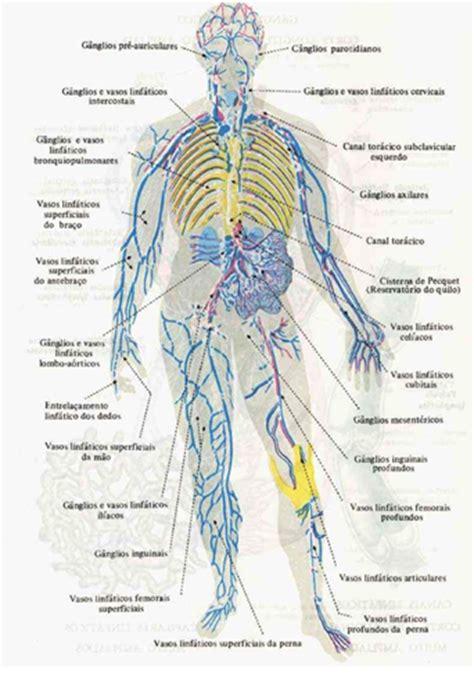 grupos ganglionares toracicos medicina para todos sistema linfatico de la pierna