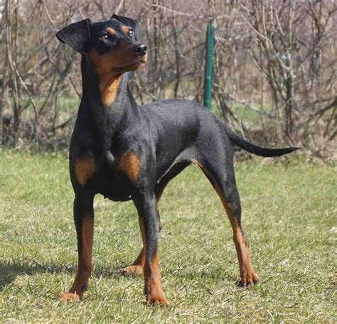 non sporting dogs companions dogs a list of non sporting breeds k9 research lab