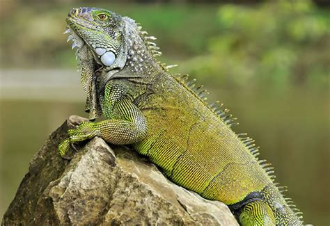 imagenes iguanas verdes opiniones de iguana verde