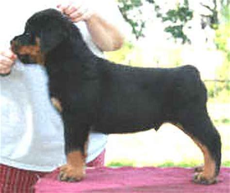 rottweiler markings german rottweiler markings dogs in our photo