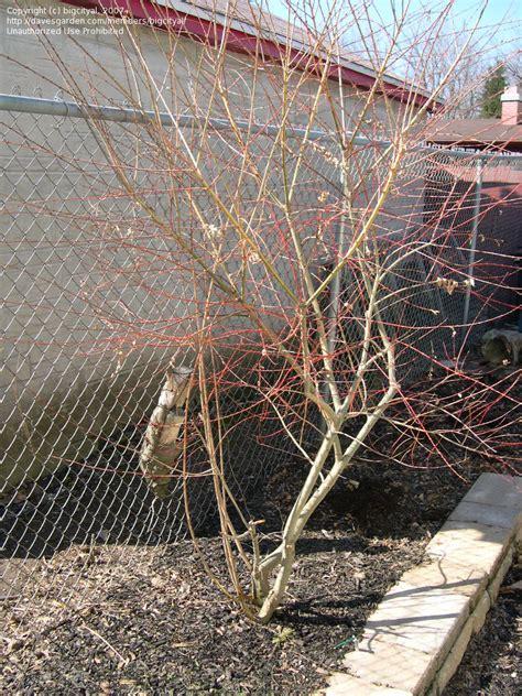 plantfiles pictures nishiki willow dappled willow