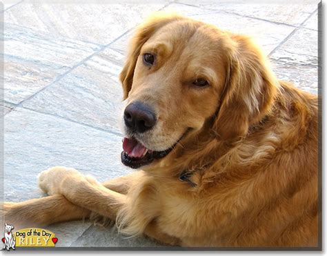 golden retriever puppy teeth falling out the golden retriever the of the day june 2 2015