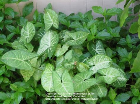 vine house plants house plants cubit house plants database syngonium