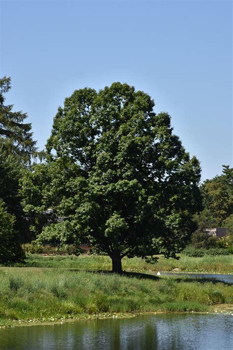 english oak quercus robur  burlington waterdown dundas