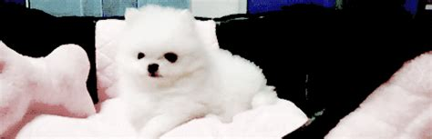 how to pronounce pomeranian s new is like impossibly small mtv