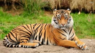 what color is a tiger tiger thinkgood