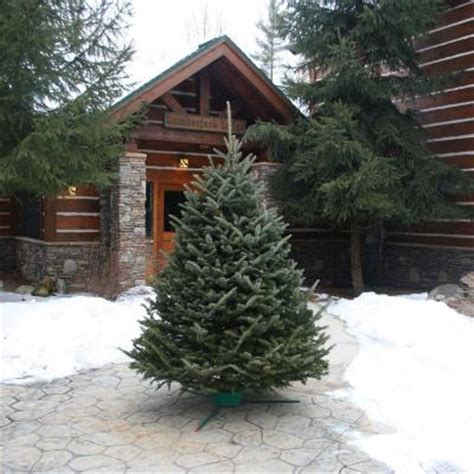 6 ft to 7 ft fresh cut fraser fir christmas tree with