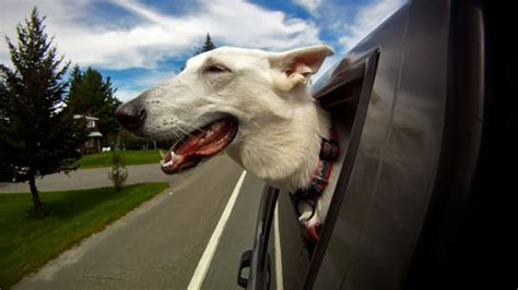dogs in cars dogs in cars a by keith hopkin