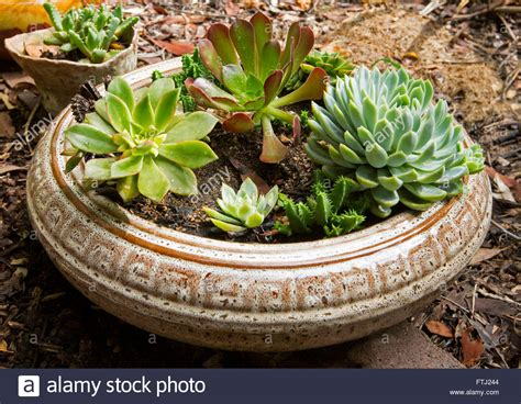Shallow Planter For Succulents by Of Succulent Plants With Blue Green Foliage Growing