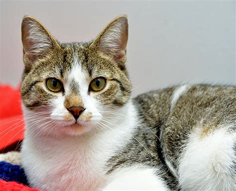 Do Shorthair Cats Shed by Hair Or Hair Which Cat Breeds Do You Prefer