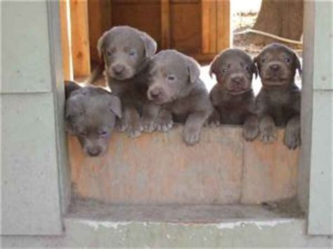 silver lab puppies for sale in nc labrador retriever puppies in mississippi