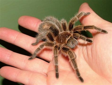 pet tarantula tarantula spider