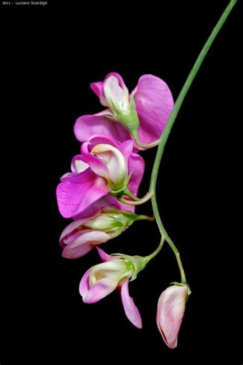 pisello odoroso fiore pisello odoroso mg 9169 juzaphoto