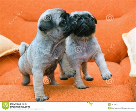 two pug puppies two pug puppy stock photography image 14024792