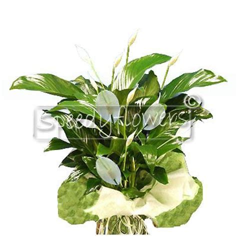 inviare fiori inviare piante fiorite matrimonio consegna domicilio