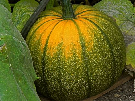 growing pumpkins for growing pumpkins in a cool climate 171 central coast gardening
