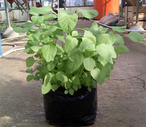 Bibit Bayam Cabut cara menanam bayam di polybag atau kebun petani top
