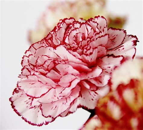 fiore garofano garofano